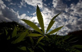 Американские неврологи одобрили применение препаратов марихуаны при рассеянном склерозе
