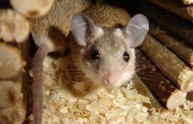 Мыши с рассеянным склерозом смогли бегать после инъекции человеческих стволовых клеток