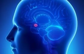 В головном мозге нашли «выключатель» аппетита