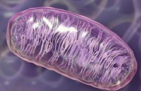 «Разрядка» митохондрий защищает мозг от последствий инсульта