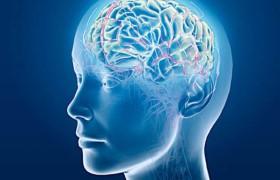 Ученые открыли сигнал, который направляет развитие головного мозга