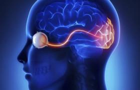 Ученые смогли восстановить кору головного мозга