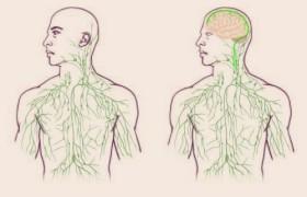 В мозге нашли лимфатическую систему