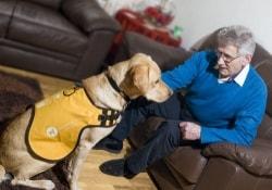 Собаки-поводыри станут помощниками стариков, страдающих деменцией