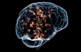 Толщину коры головного мозга предопределяют гены