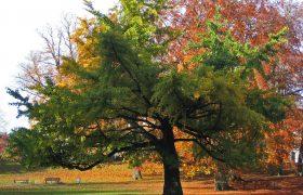 Экстракт из дерева гингко надёжно защищает мозг