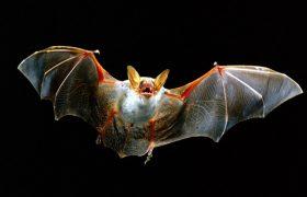 В основу лекарств от инсульта ляжет слюна летучих мышей