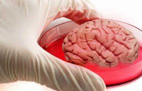Ученые научились выращивать «мини-мозги», пронизанные сетью сосудов