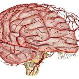 Американские ученые смогли изменить поток крови в мозге