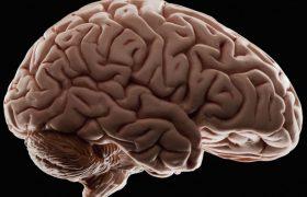Биологи нашли гены, заставляющие наш мозг расти