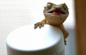 Ученые выяснили, что гекконы могут восстанавливать клетки мозга