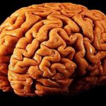 Кишечные бактерии обнаружены в головном мозге
