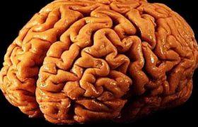 В России вырастили мини-мозг