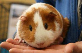 Швейцарские ученые призвали использовать морских свинок в терапии травм мозга