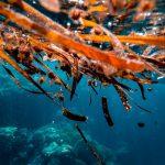 Морские водоросли помогут вылечить сердце после инфаркта