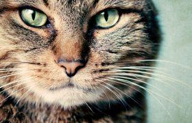 Кошачье урчание — эффективный способ нормализовать ритм сердца и давление
